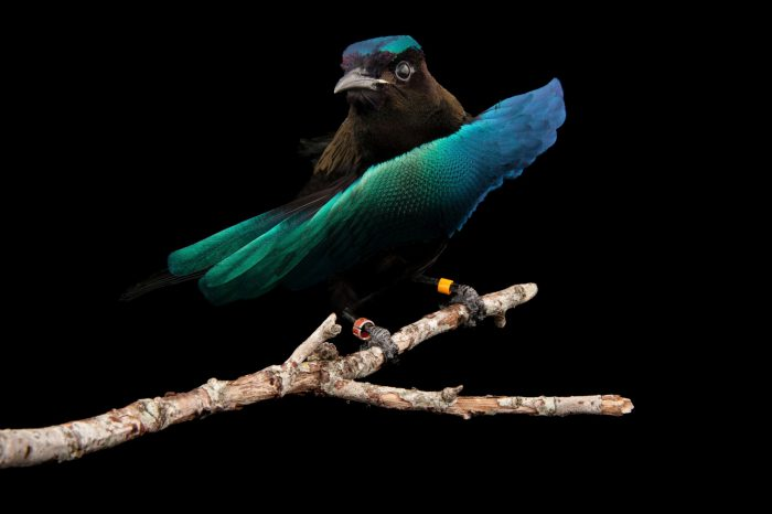 Photo: A superb bird of paradise (Lophorina superba) displays iridescent chest feathers at the Houston Zoo.