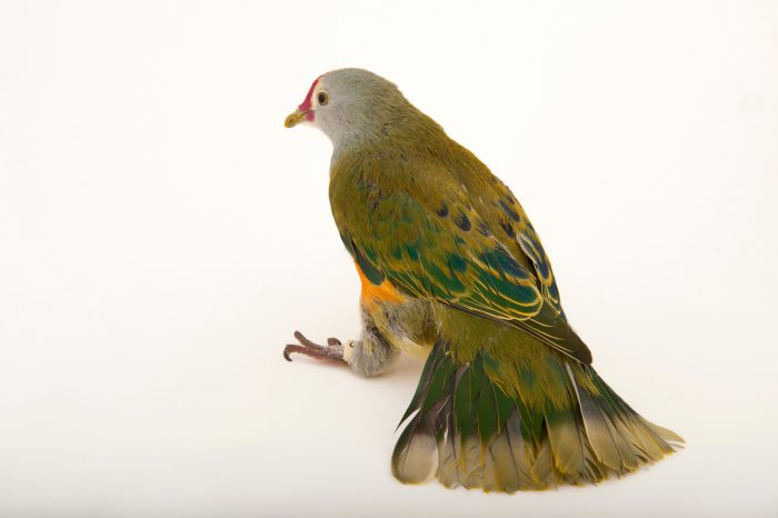 Photo: An endangered Mariana fruit dove (Ptilinopus roseicapilla) at the Houston Zoo.