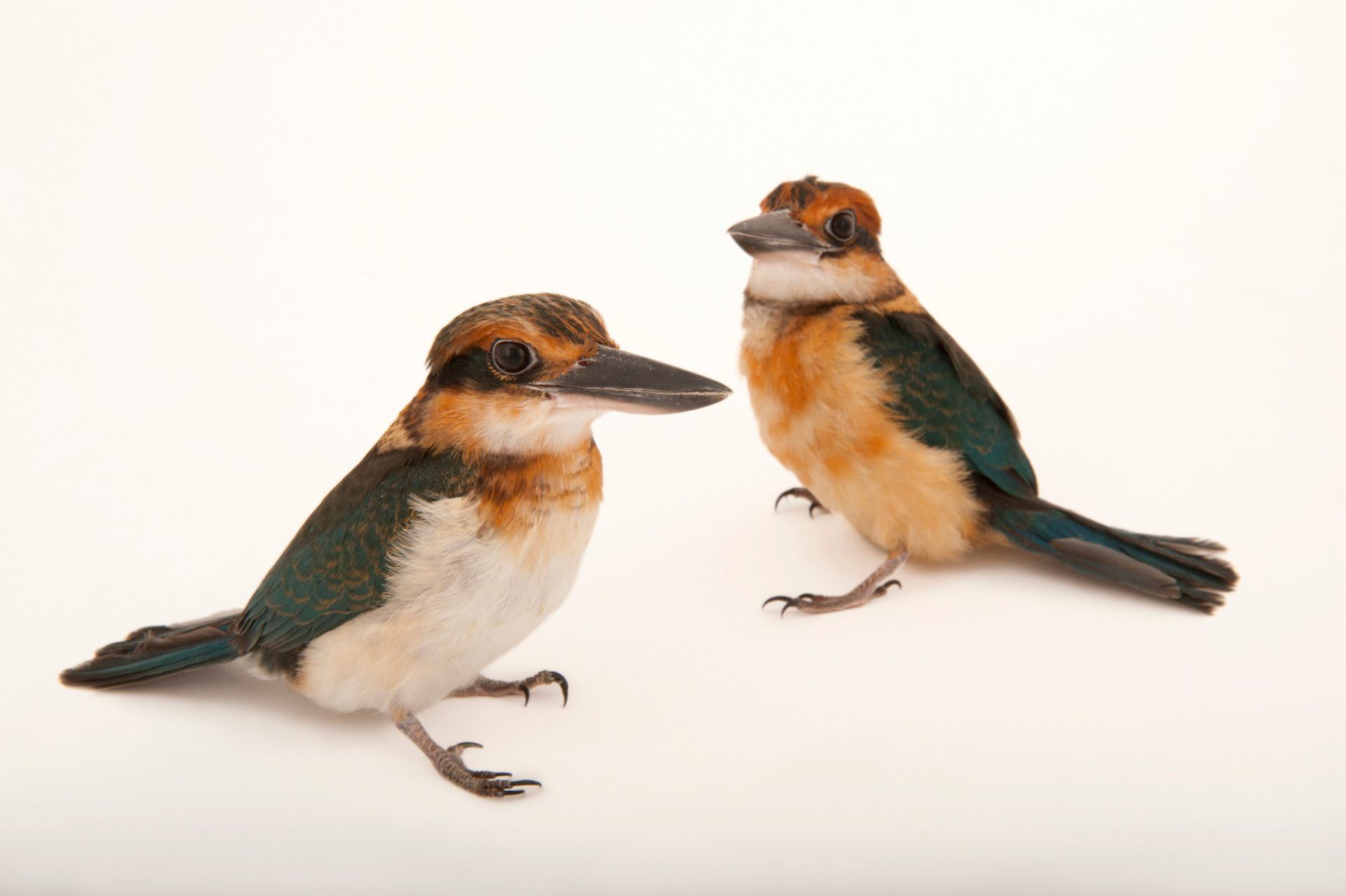 Photo: A pair of endangered Guam Micronesian kingfishers (Todiramphus cinnamominus cinnamominus) at the Houston Zoo.