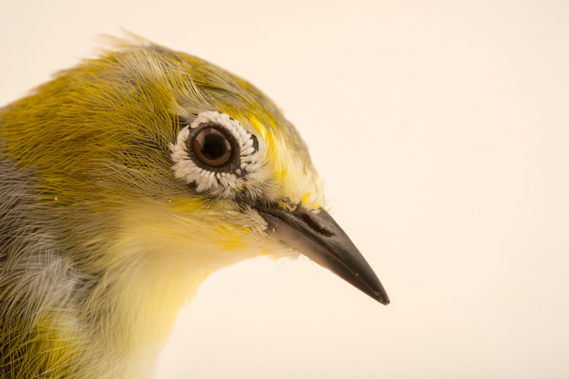 Photo: African yellow white-eye (Zosterops senegalensis) from the private collection of Cornel Roels of Choussy, France.