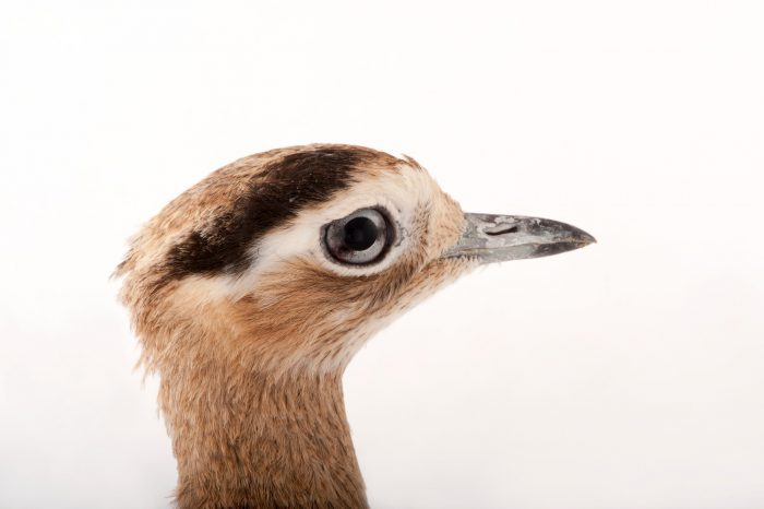 Photo: A Peruvian thick-knee (Burhinus superciliaris) at the Miller Park Zoo.