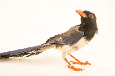Photo: A red-billed blue magpie (Urocissa erythrorhyncha magnirostris) from a private collection in Choussy, France.