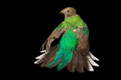 Photo: A female resplendent quetzal (Pharomachrus mocinno) at the Dallas World Aquarium.