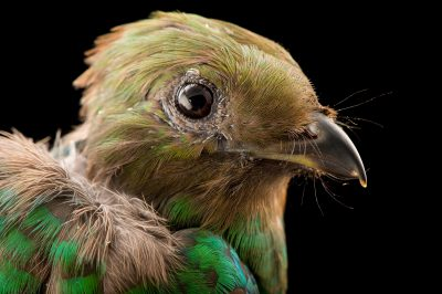 Photo: A female resplendent quetzal (Pharomachrus mocinno) at the Dallas World Aquarium.