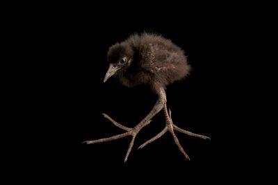Photo: A white-breasted waterhen chick (Amaurornis phoenicurus phoenicurus) at Davao Crocodile Park.