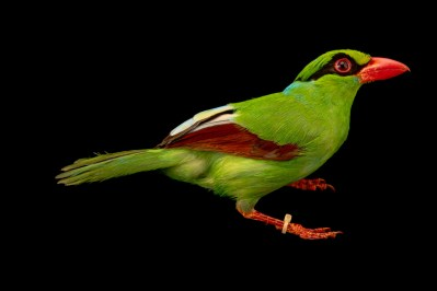 Photo: A critically endangered Javan green magpie (Cissa thalassina) at Taman Safari.