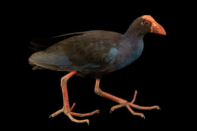 Photo: A Sunda swamphen, Porphyrio porphyrio indicus, at Taman Safari.
