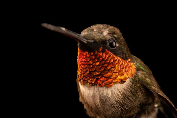 Photo: A male ruby-throated hummingbird (Archilochus colubris) at Wildcare, a wildlife rehab center.
