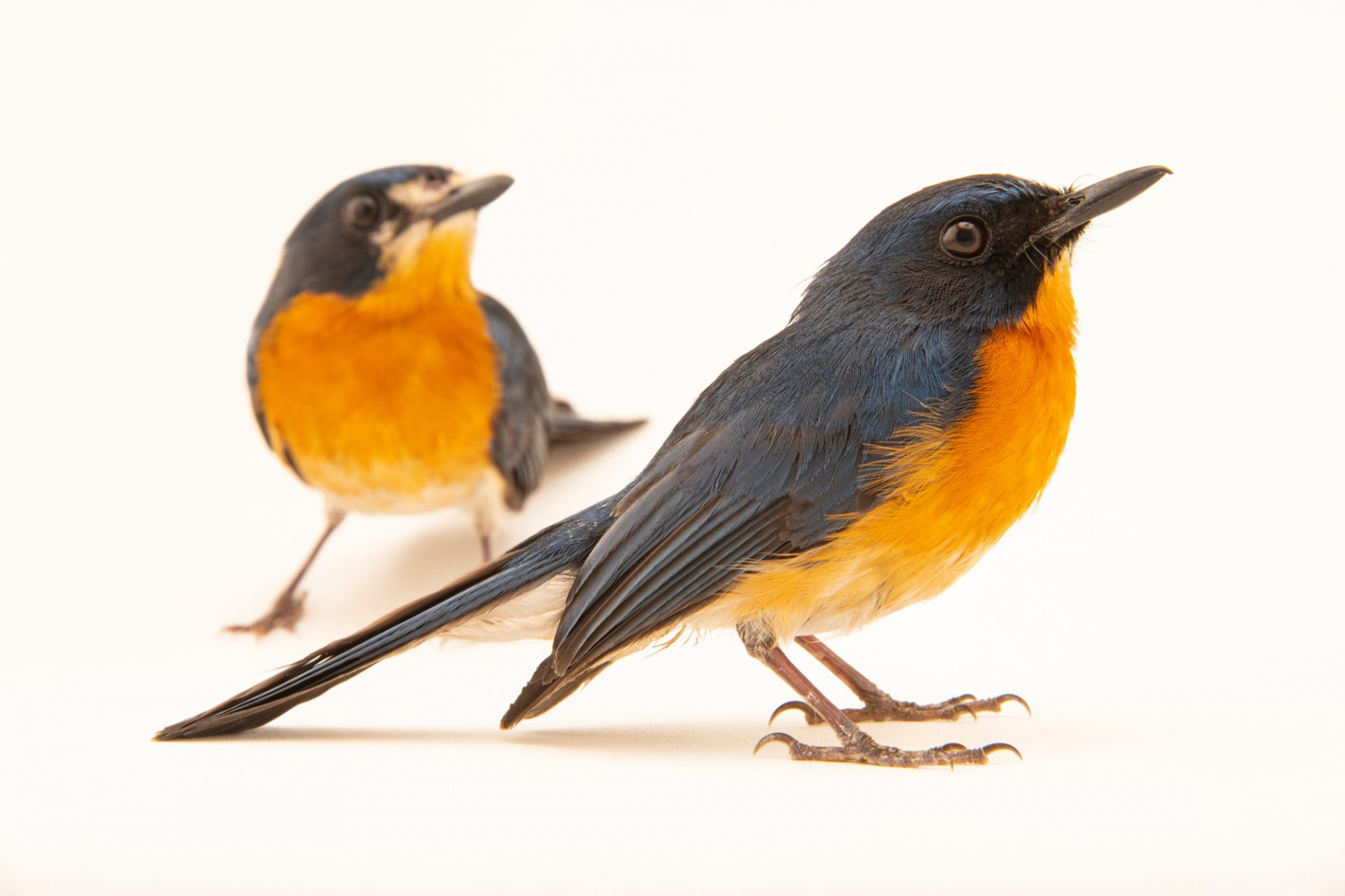Photo: A male and female mangrove blue flycatcher (Cyornis rufigastra mindorensis) on Semirara Island in the Philippines.