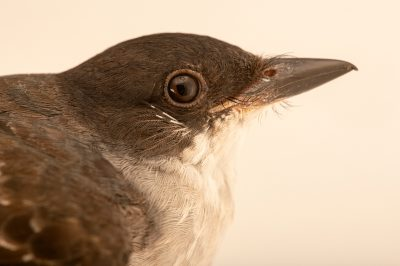 Photo: An Eastern kingbird (Tyrannus tyrannus) at the Wildlife Rescue Center of Minnesota.