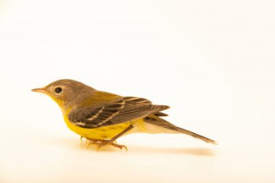 Photo: A female magnolia warbler (Setophaga magnolia) at the Wildlife Rescue Center of Minnesota.