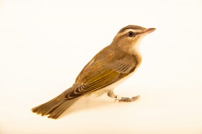 Photo: A red-eyed vireo (Vireo olivaceus) at the Wildlife Rescue Center of Minnesota.