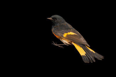 Photo: A male American redstart (Setophaga ruticilla) at the Wildlife Rehab Center of Minnesota.