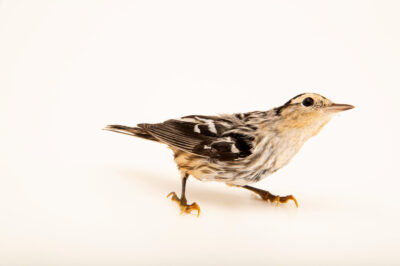 Photo: Black and white warbler (Setophaga castanea) at the Wildlife Rehab Center of Minnesota.