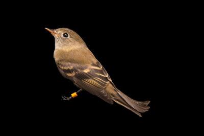 Photo: Least flycatcher (Empidonax minimus) at the Wildlife Rehab Center of Minnesota.