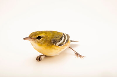 Photo: A bay-breasted warbler (Setophaga castanea) at the Wildlife Rehab Center of Minnesota.