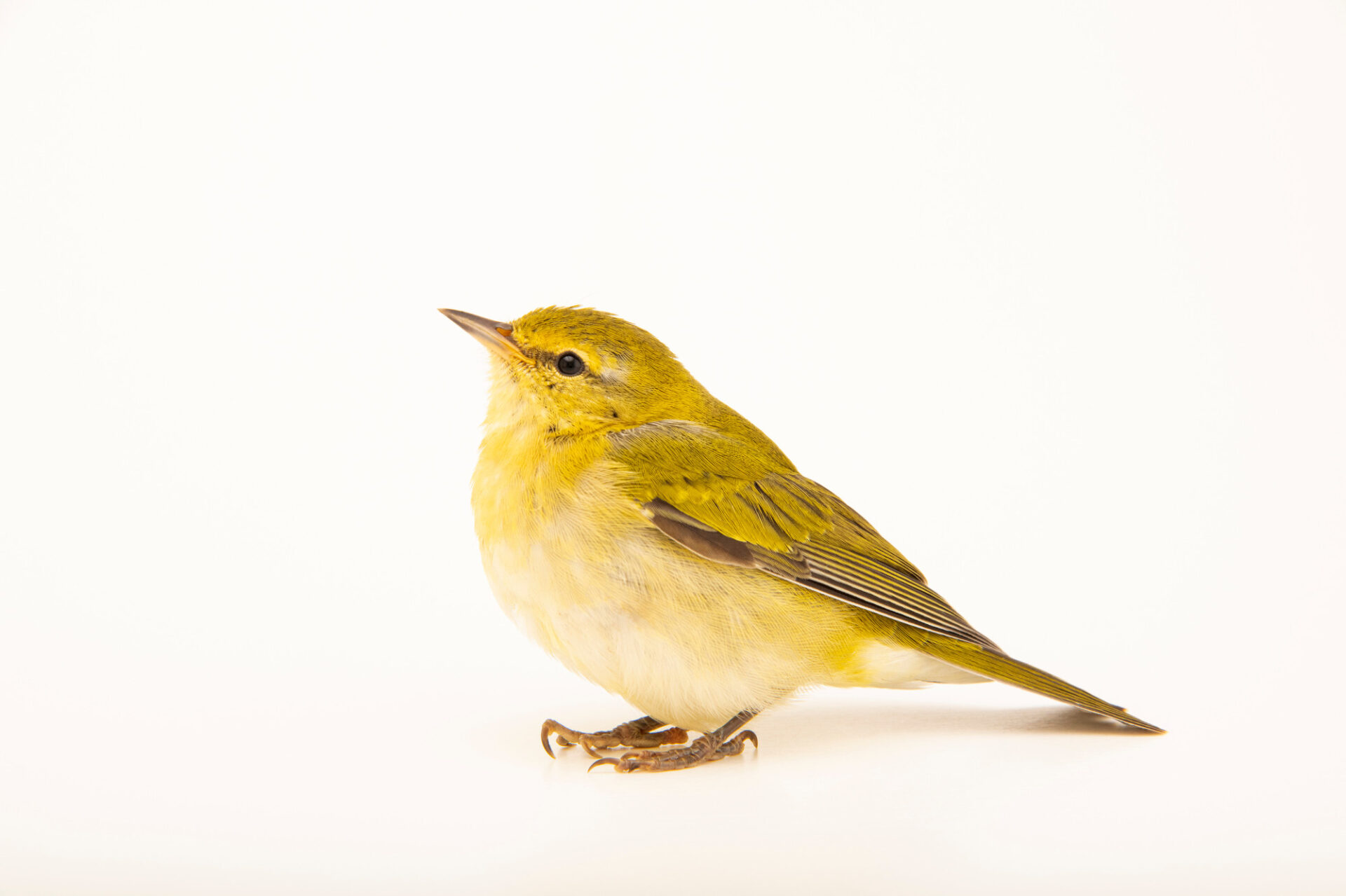 Photo: A Tennessee warbler (Oreothlypis peregrina) at the Wildlife Rehab Center of Minnesota.