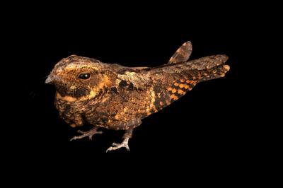 Photo: An Eastern whip-poor-will (Antrostomus vociferus) at Iowa Bird Rehabilitation.