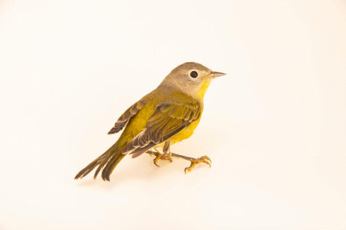 Photo: A Nashville warbler (Oreothlypis ruficapilla) at Iowa Bird Rehabilitation.