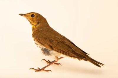 Photo: A SwainsonÕs thrush (Catharus swainsoni swainsoni) at the Wildlife Rehab Center of Minnesota.