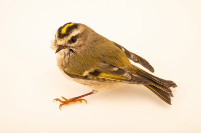 Photo: A golden-crowned kinglet (Regulus satrapa satrapa) at the Wildlife Rehab Center of Minnesota (WRCMN).