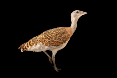 Photo: A great bustard (Otis tarda tarda) at Tierpark Berlin.