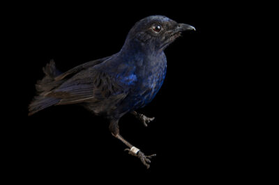 Photo: A sunda whistling thrush (Myophonus glaucinus) at the Prague Zoo.