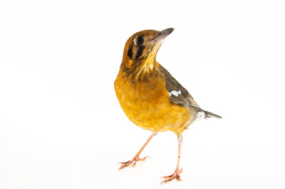 Photo: An orange-billed thrush (Geokichla citrina melli) at the Prague Zoo.