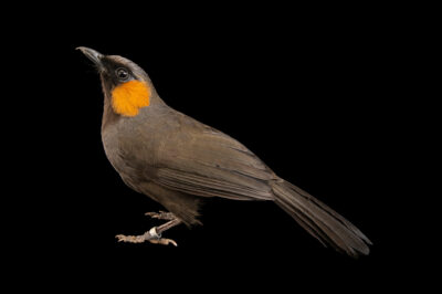 Photo: A Rufous-cheeked laughingthrush (Garrulax castanotis castanotis) at the Prague Zoo.