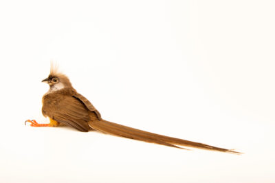 Photo: A speckled mousebird (Colius striatus kikuyuensis) at the Zoo Berlin.