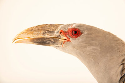 Photo: A channel-billed cuckoo (Scythrops novaehollandiae) at the Zoo Berlin.