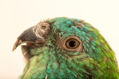 Photo: Red rumped parrot (Psephotus haematonotus) at Loro Parque Fundacion.
