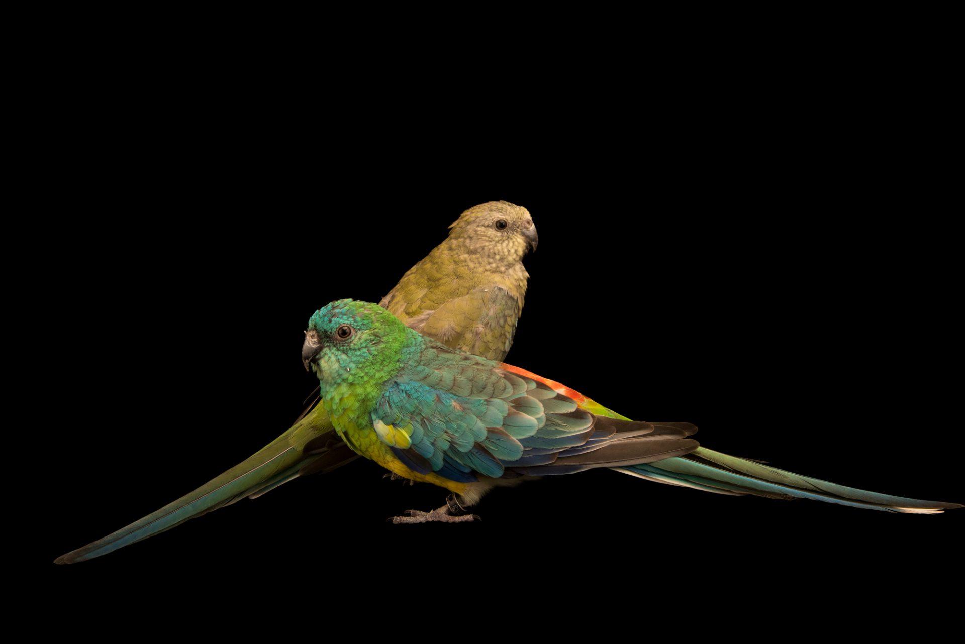 Photo: Red rumped parrot (Psephotus haematonotus) at Loro Parque Fundacion.