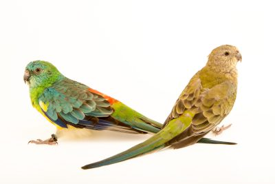 Photo: Male and female red rumped parrots (Psephotus haematonotus) at Loro Parque Fundacion.