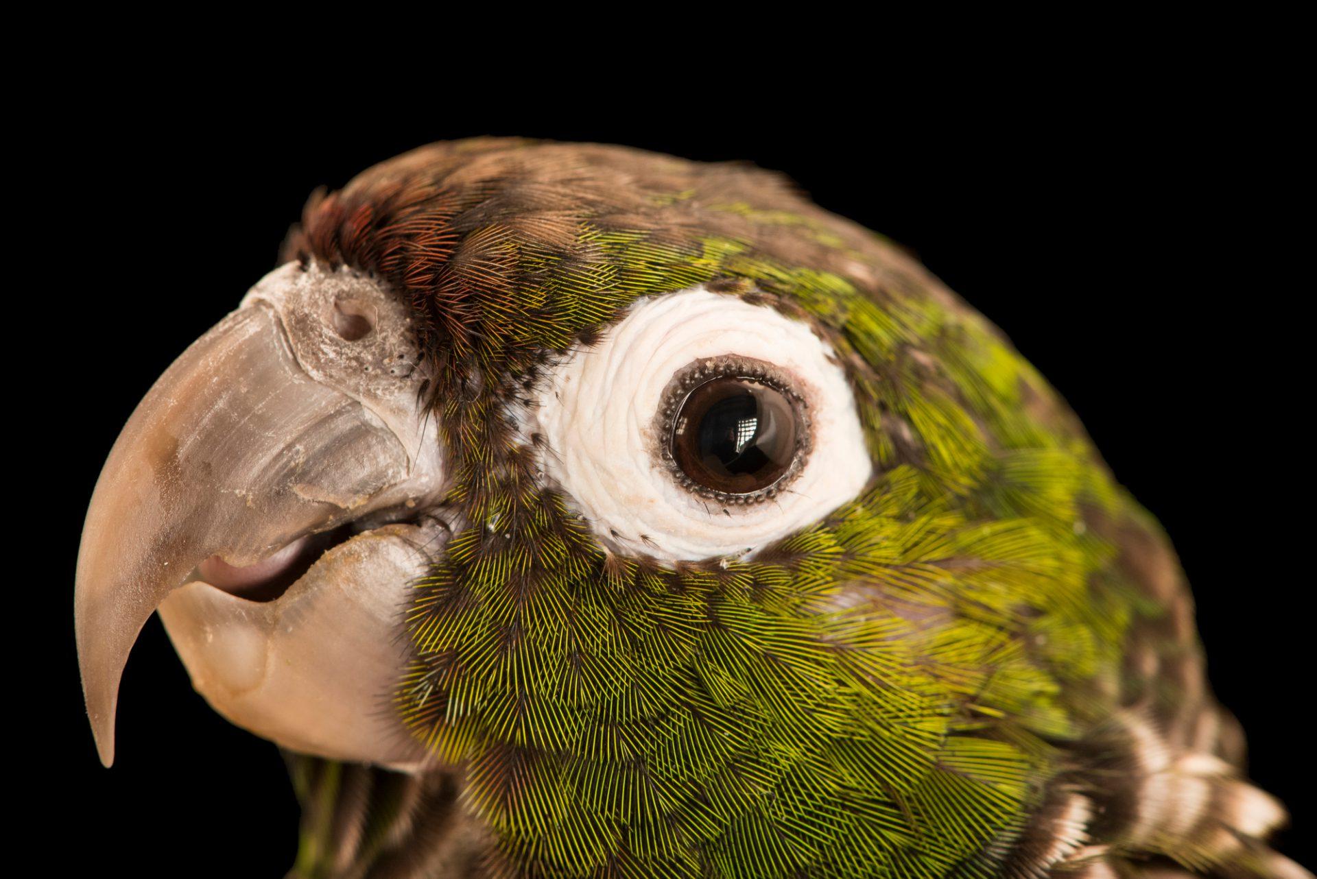 Photo: Maroon tailed parakeet (Pyrrhura melanura souancei) at Loro Parque Fundacion.