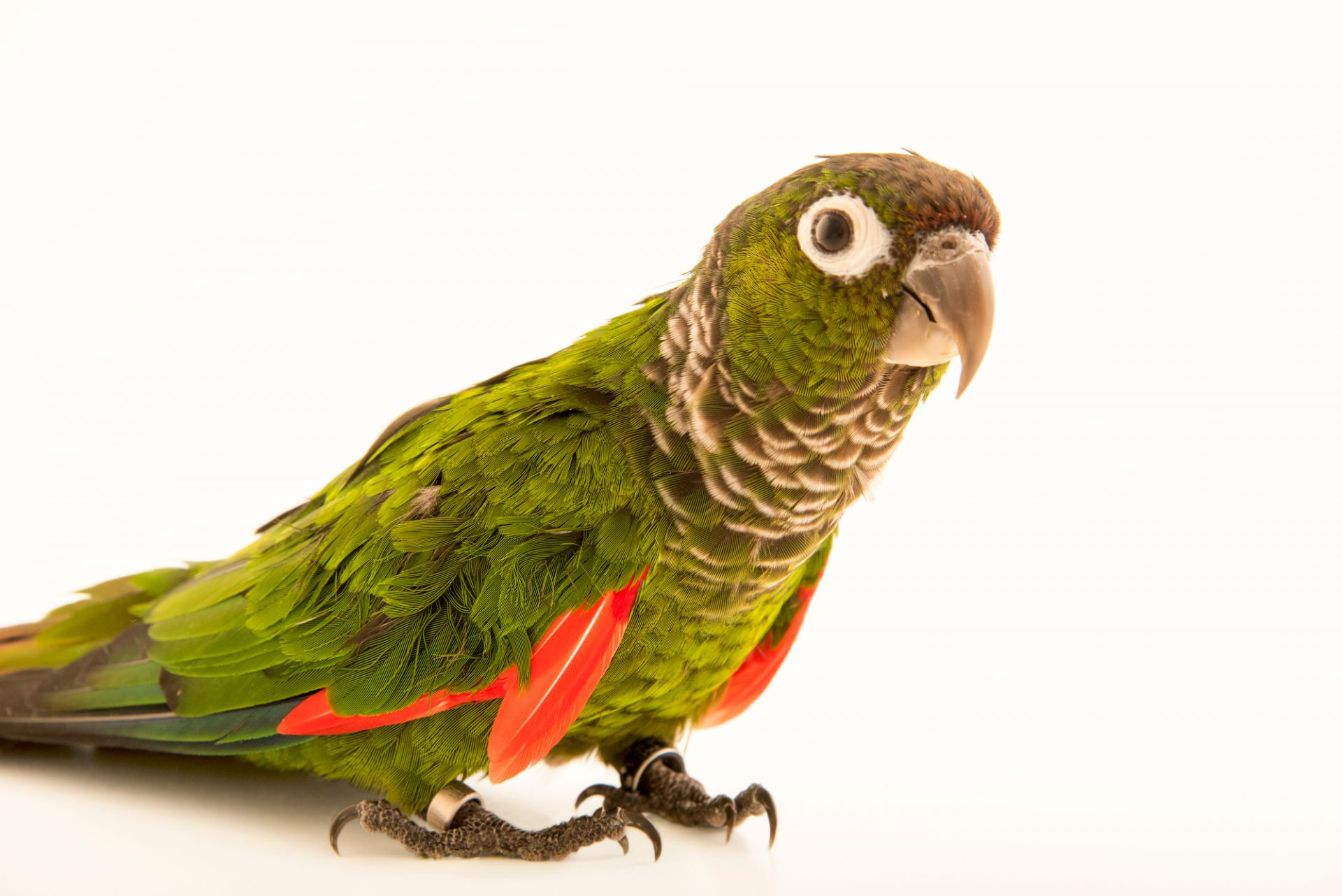 Photo: Maroon tailed parakeet (Pyrrhura melanura souancei) at Loro Parque Fundacion.