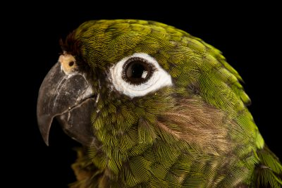 Photo: Maroon bellied parakeet (Pyrrhura frontalis chiripepe) at Loro Parque Fundacion.