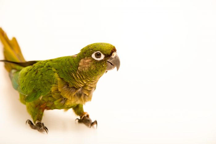 Photo: Maroon bellied parakeet (Pyrrhura frontalis chiripepe) at Loro Parque Fundacion.