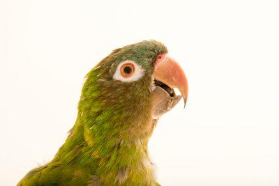 Photo: Blue crowned parakeet (Psittacara acuticaudatus haemorrhous) at Loro Parque Fundacion.