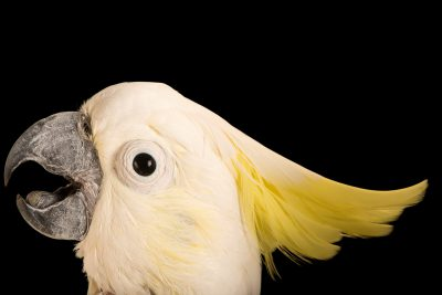 Photo: AbbottÕs cockatoo (Cacatua sulphurea abbotti) at Loro Parque Fundacion.