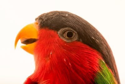 Photo: Collared lory (Phigys solitarius) at Loro Parque Fundacion.