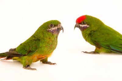Photo: Plum faced lorikeet (Oreopsittacus arfaki major) at Loro Parque Fundacion.