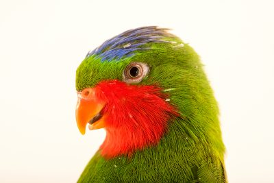 Photo: Blue crowned lorikeet (Vini australis) at Loro Parque Fundacion.