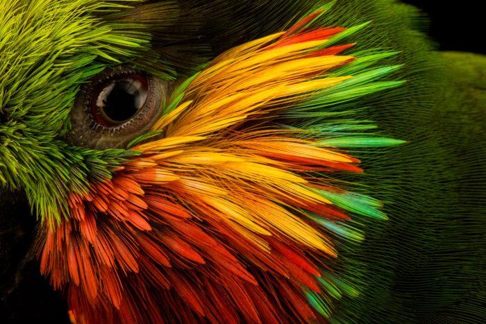 Photo: Edward's fig parrot (Psittaculirostris edwardsii) at Loro Parque Fundacion.