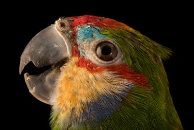 Photo: A female double eyed fig parrot (Cyclopsitta diophthalma) at Loro Parque Fundacion.