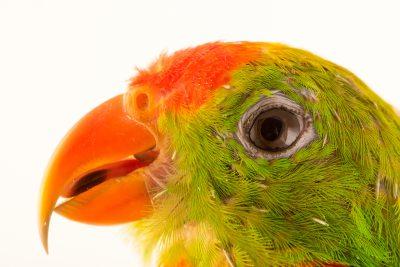 Photo: Philippine hanging parrot (Loriculus philippensis philippensis) at Loro Parque Fundacion.