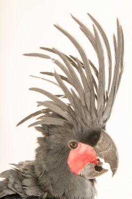 Photo: A female palm cockatoo (Probosciger aterrimus goliath) at Loro Parque Fundacion.