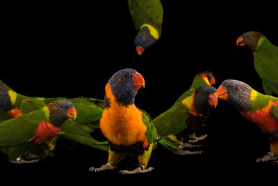 Photo: Ten different lorikeet species and subspecies from the genus Trichoglossus, at Loro Parque Fundacion.