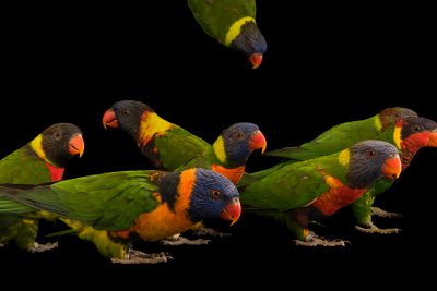 Photo: Ten different lorikeet species and subspecies from the genus Tricholglossus, at Loro Parque Fundacion.