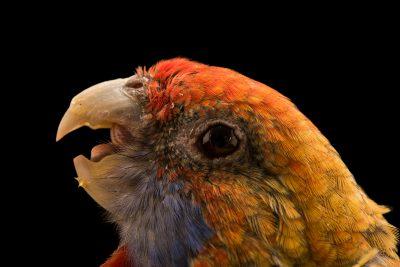 Photo: Adelaide parrot (Platycercus elegans subadelaidae) at Loro Parque Fundacion.